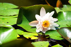 Water lily Stock Images