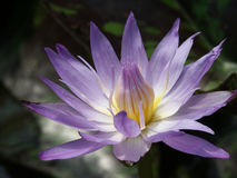 Water Lily. Purple, yellow and white flower closeup Stock Photography