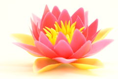 Free Water Lily Stock Images - 21070464