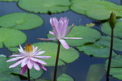 Water lily. Two water lily flowers in the ponds royalty free stock image