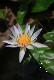 Water Lily. A white water lily in a garden Stock Photos