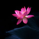 The water lily Stock Image