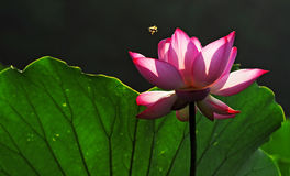 The water lily Royalty Free Stock Photography