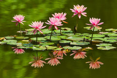Free Water Lily Stock Photo - 24485600