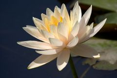 Water lily. White water lily Stock Image