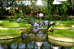 Water lily. In St.Petersburg Botanical Garden Royalty Free Stock Photo