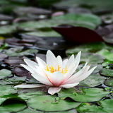 Water lily. In lake Stock Photography