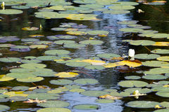 Water lily. At the end of Summer Stock Images