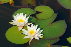 Water lily. The clouse-up of white water lily flower Royalty Free Stock Photos