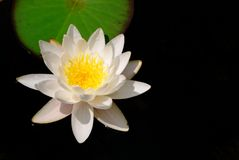 Water lily. White water lily in a dark pond royalty free stock photos