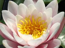 Water lily. Closeup of pink water lily Stock Images