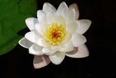 Water lily. In the lake Royalty Free Stock Photo