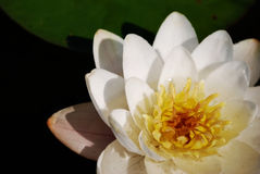 Water lily. In the lake royalty free stock photography