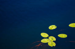 Free Water Lily Royalty Free Stock Photo - 29255205