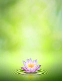 Water lily. Stock Image