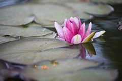 Water Lily 3 Royalty Free Stock Images