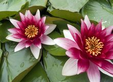 Water lily. In lake Royalty Free Stock Image