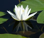 Water-lily Royalty Free Stock Photography