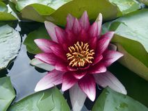Water lily. In lake Royalty Free Stock Photos