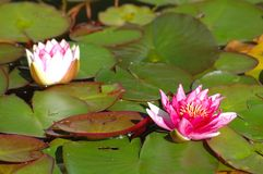 Water-lily. Pink and white water-lily Stock Photography
