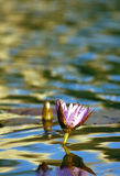 Water Lily. Blooming Water Lily in pond Royalty Free Stock Image