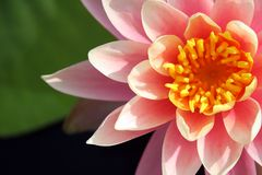 Water lily. Close up of a tropical pink water lily Stock Photography