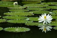 Water Lily. In Botanical Garden Royalty Free Stock Photography