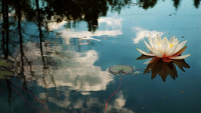 Free Water Lily Royalty Free Stock Photo - 44101555
