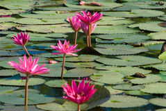 Water Lily. Royalty Free Stock Photography