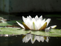 Water Lily Stock Image