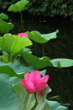 Water Lily. In China, the famous garden, The Humble Administrator's garden Stock Photos