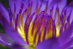 Water lily. Isolated of purple in color water lily Stock Photo