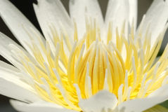 Water lily. Isolated of white in color water lily Royalty Free Stock Images