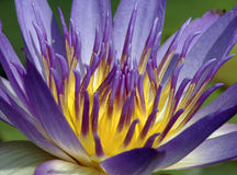 Water Lily 5213A. Purple water lily surrounded by lilypads in a pond Stock Photo