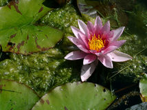 Water-lily. Pink water-lily royalty free stock photography