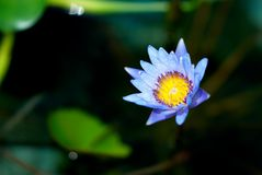 Water Lily. Blue water lily stock photography