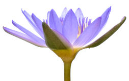 Water lily. Isolated of purple in color water lily Stock Image