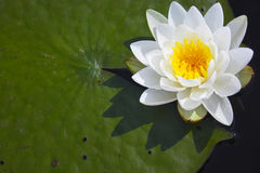 Free Water Lily Stock Photos - 5455523