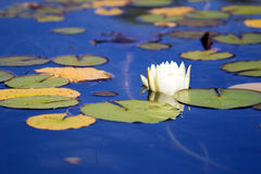 Water lily. Shot at water garden Royalty Free Stock Photos