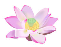 Water lily vector illustration