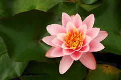 Free Water Lily Stock Photos - 5830513
