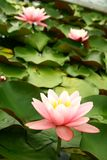 Water lily. Close up of a water lily in a little pond Stock Photography