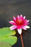 Water lily. Pink water lily with green leaf Royalty Free Stock Images