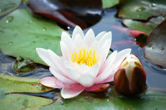 Water-lily. (lotus) with bud and frog Stock Photography