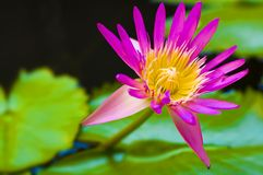 Water lily. And beautiful red leaf Royalty Free Stock Image