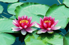Free Water Lily Royalty Free Stock Photo - 6265585
