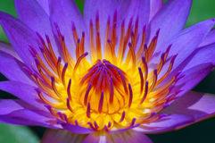 Water Lily. Close up of a purple waterlily in the pond Royalty Free Stock Photos