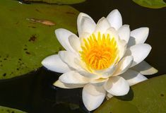 Water lily. Flower on a lake Royalty Free Stock Photo
