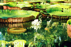 Water lily. Image of a lotus in a pond Royalty Free Stock Image