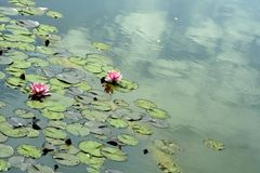 Water lily. Green and rose water lily Royalty Free Stock Photography